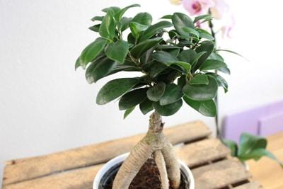 Ficus Ginseng als Bonsai