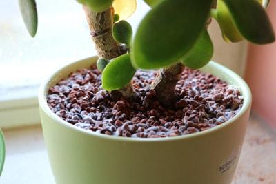Pflanzsubstrat des Geldbaums