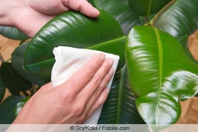 Reinigen von Gummibaum-Blättern