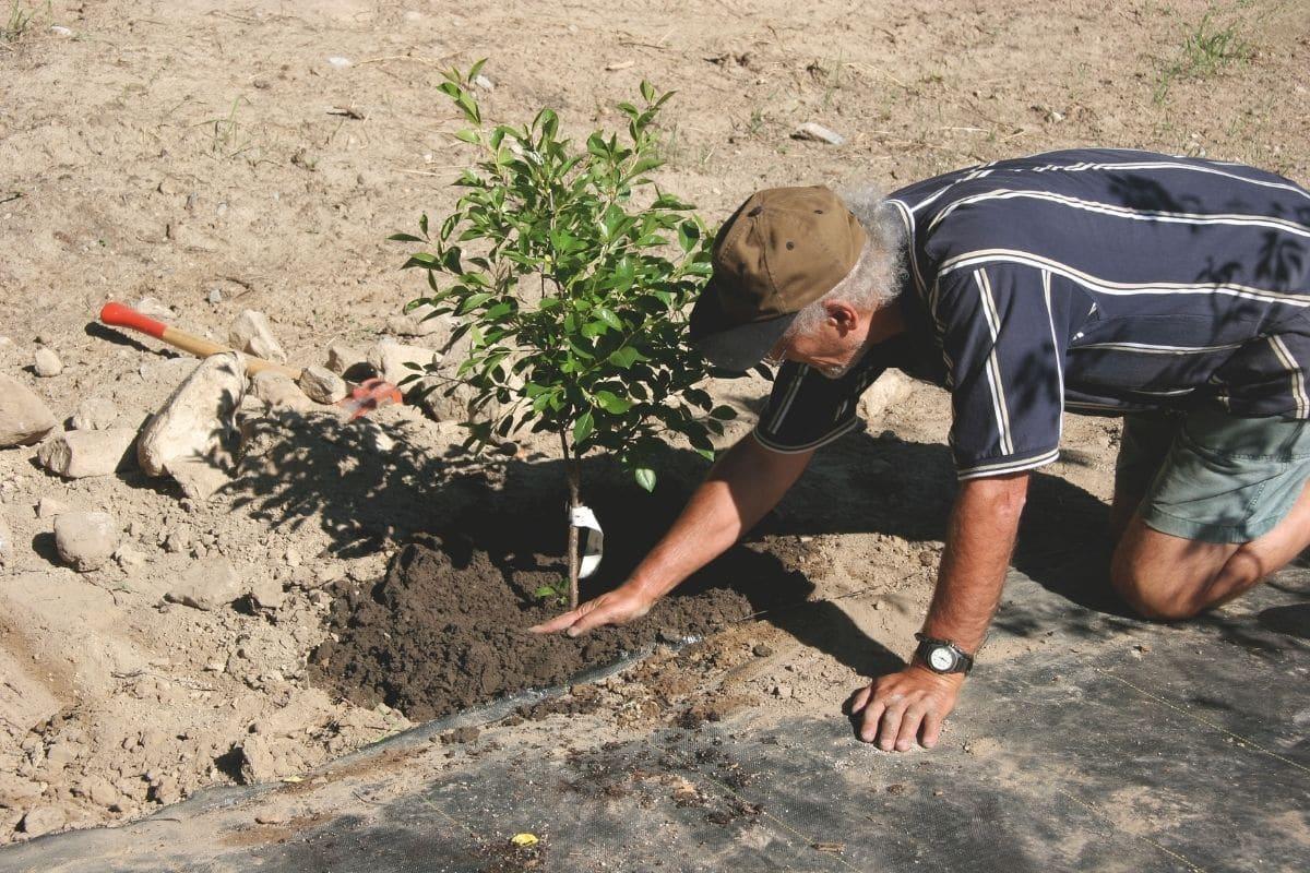 Junger Kirschbaum frisch gepflanzt