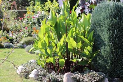 Indisches Blumenrohr im Garten
