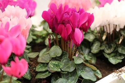 Alpenveilchen als giftige Zimmerpflanze