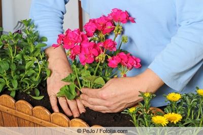 Geranien in Kübel pflanzen