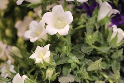 Pfirsischblättrige Glockenblume