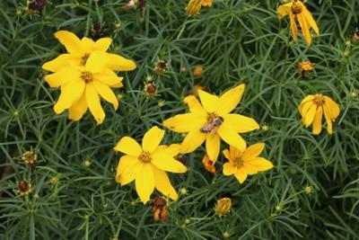 Scheinquirl-Mädchenauge - Coreopsis verticillata