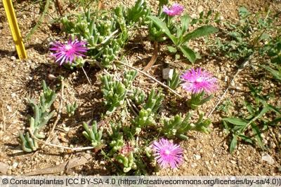 Mittagsblume - Delosperma cooperi