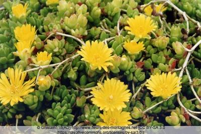 Mittagsblume - Delosperma lineare