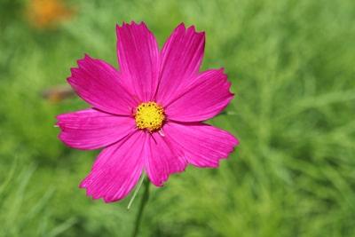 Schmuckkörbchen - Cosmea-Blüte