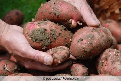Hände ernten rote Kartoffeln