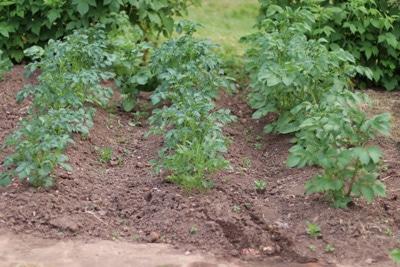 Kartoffelpflanzen im Beet
