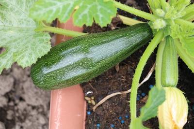 Zucchini im Beet