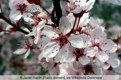 Blutpflaume - Prunus cerasifera 'nigra'
