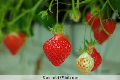 Lambada-Erdbeere im Gewächshaus
