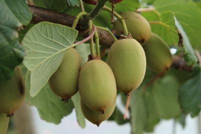 Großfruchtige Kiwi - Actinidia deliciosa