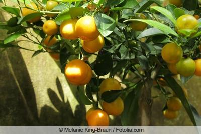 Mandarinenbaum Hochstämmchen
