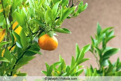 Mandarine an Mandarinenbaum