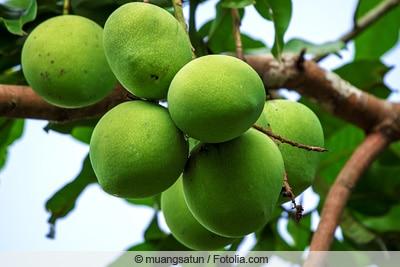 Baum mit Mangofrüchten