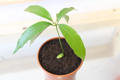 Mangobaum im Topf