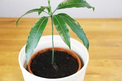 Mangobaum selbst gezogen