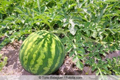 Wassermelone im Beet