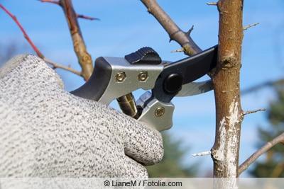 Schnitt eines Obstbaums mit Gartenschere