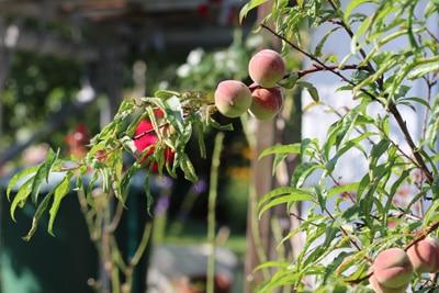Pfirsichbaum mit Früchten