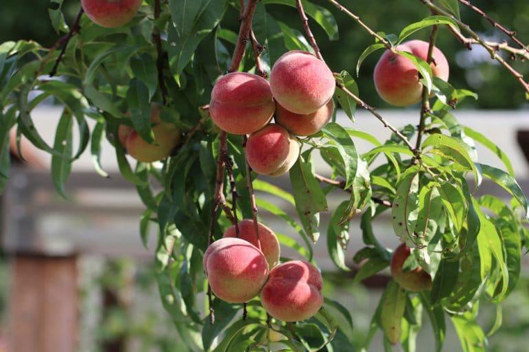 pfirsichbaum aus kern ziehen
