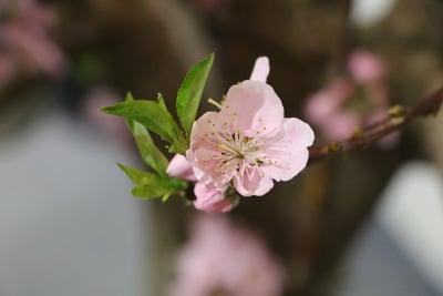 Blüte des Pfirsichbaums
