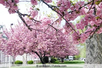 """Prunus s /""""Shidare Sakura/"""" japanische  Hänge-Nelkenkirsche"""