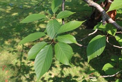 Blätter der Zierkirsche