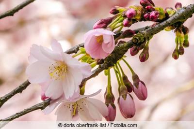 Blüten der Zierkische