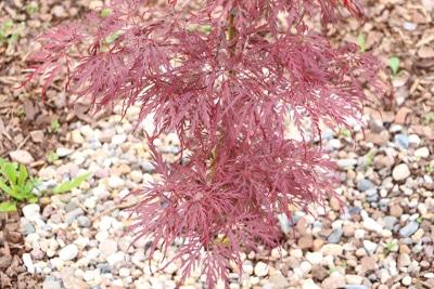 Fächerahorn - Acer palmatum