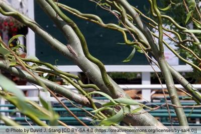 Korkenzieherweide - Salix matsudana tortuosa