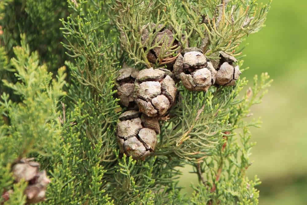 Mittelmeer-Zypresse - Cupressus sempervirens