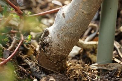 Olivenbaum - Ölbaum - Olea europaea