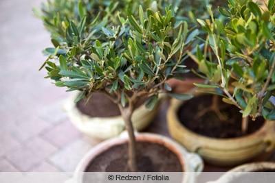 Olivenbäumchen im Kübel