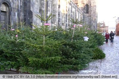 Nordmanntanne als Weihnachtsbaum