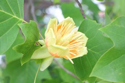 Tulpenbaum - Liriodendron tulipifera