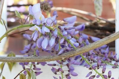 Chinesischer Blauregen - Wisteria sinensis