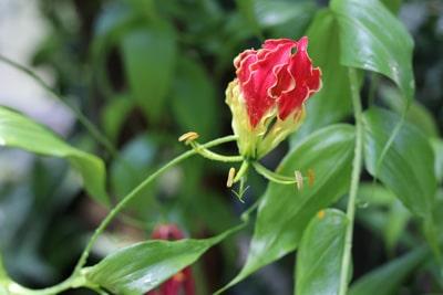 Ruhmeskrone - Gloriosa rothschildiana