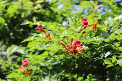 Amerikanische Trompetenblume - Campsis radicans