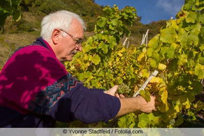 Rebschnitt zur Weinlese
