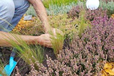 Pflanzen von Heidekraut