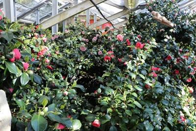 Kamelie - Camellia japonica