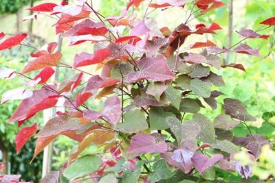 Kanadischer Judasbaum - Cercis canadensis 'Forest Pansy'