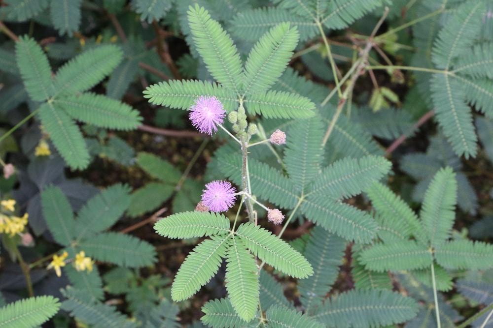 Mimose - Mimosa pudica