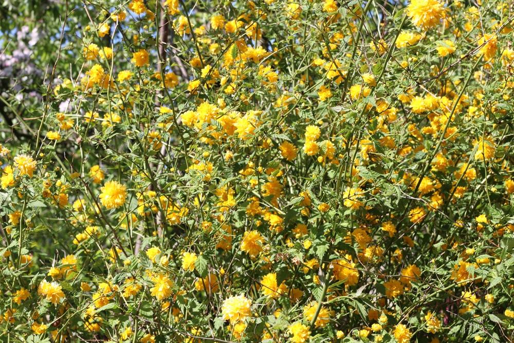 Ranunkelstrauch - Kerria japonica