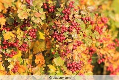 Rotdorn im Herbst mit Früchten
