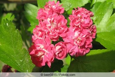 Blüte des Rotdorns