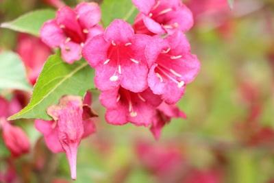 Blüte der Weigela